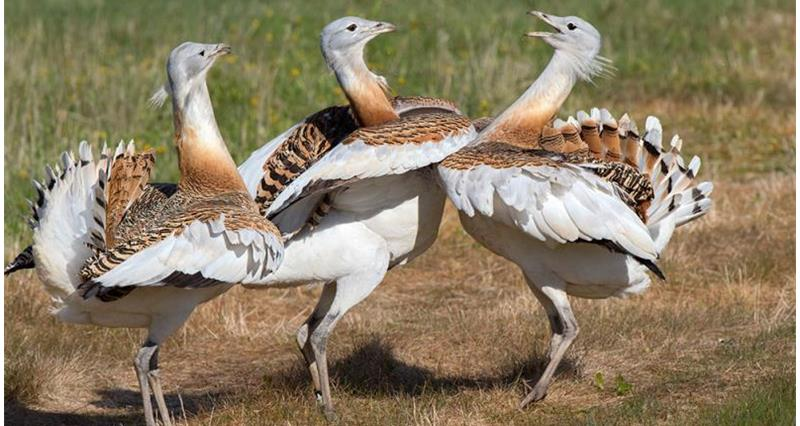 Farmers aid for Bustard project