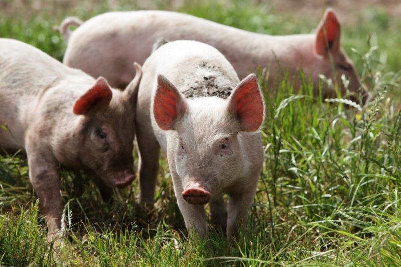 Piglets at Essington _28253