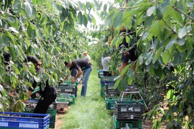 Seasonal worker cherry harvest_51692