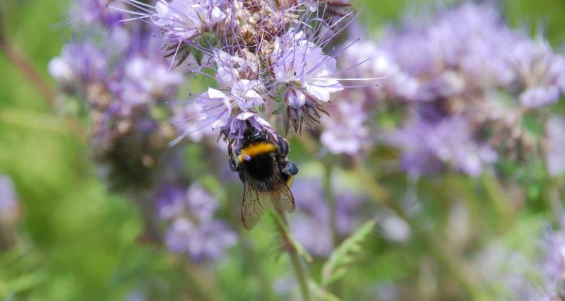 Bumblebee with purple pollen sacs on Phacelia_23869