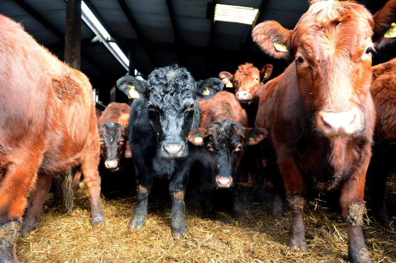 TB testing results with Shropshire beef farmer, Mervin Mullard_14975