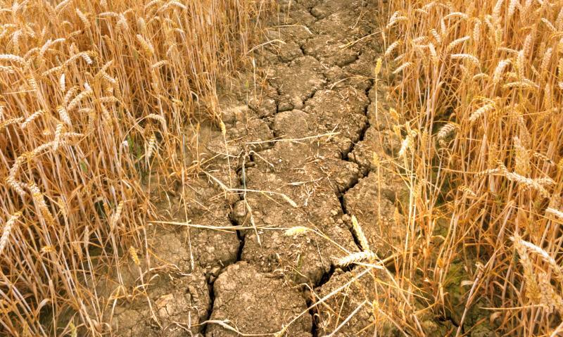 drought in corn field_34025