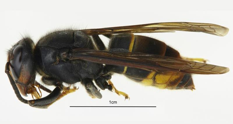 Asian hornet: Two new sightings confirmed