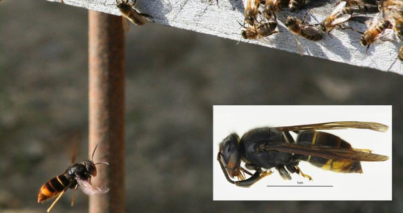asian hornet attack bees composite_42818