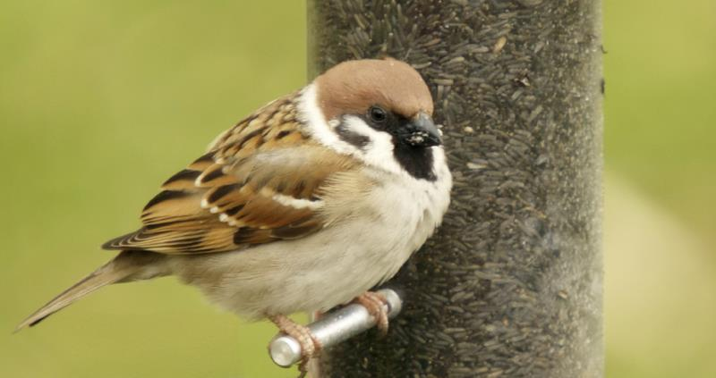 tree sparrow, big farmland birdcount_49998