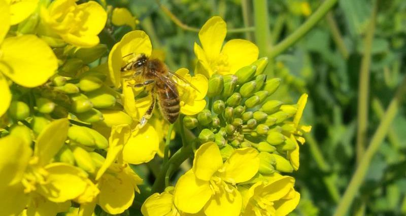 bees on oilseed rape, osr, neonicotinoids, pollinator, crops, arable_34058