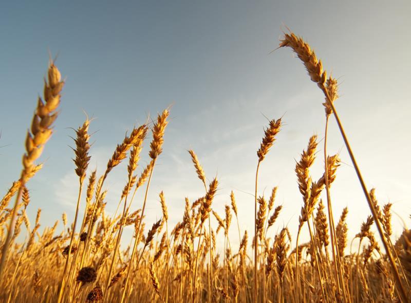 wheat field web crop, growth, harvest_40537