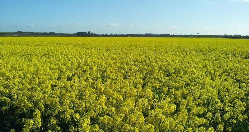 Oilseed rape field, Peter Gadd, Nottinghamshire_22463