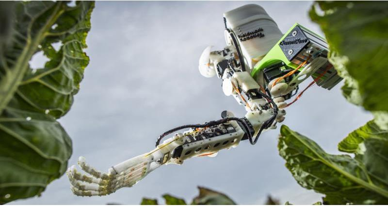 robot harvest 2, automated brassica harvest in cornwall project, dr martin stoelen_53170