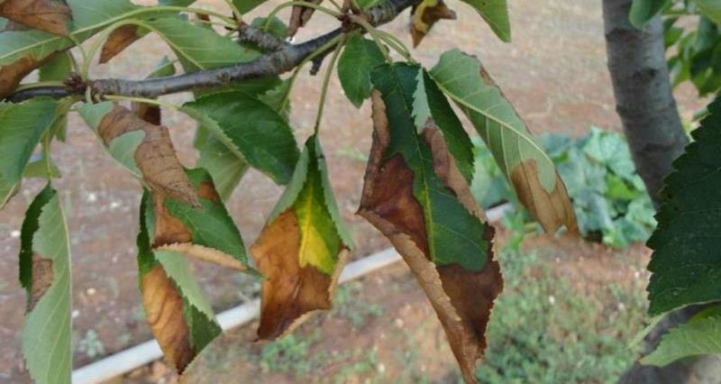 Xylella spreads to Spanish mainland