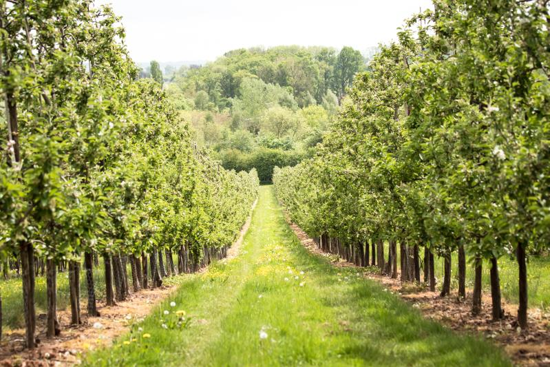 Apple Orchards_34879