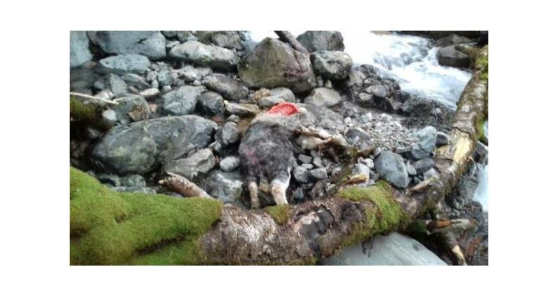 Dead Herdwick due to a dog attack_49937