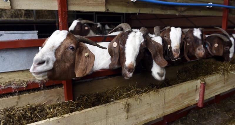 Chris Dickinson goats 3_43402